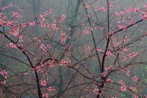 treeinbloom