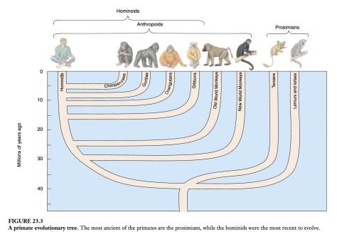 primate evol.tree