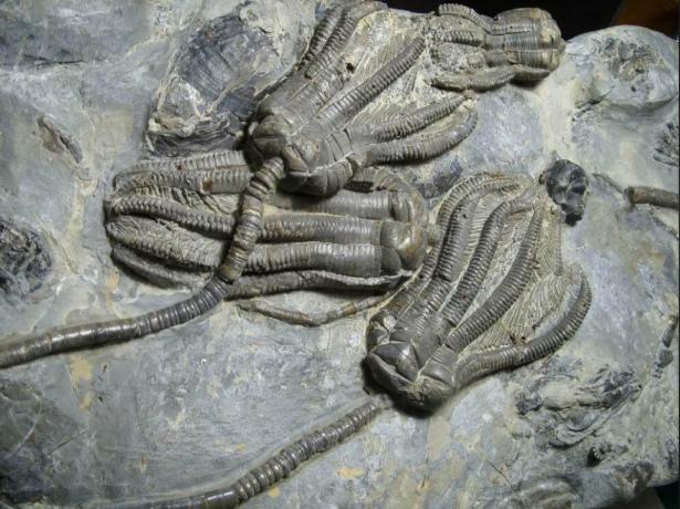 Crinoids