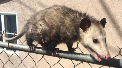 Opossum_Fence_032018-720x540
