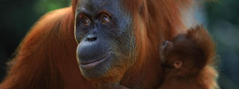 sumatran_orangutan_8.6.2012_Hero_and_Circle_image_XL_257636