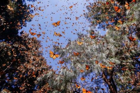 Monarch-Butterflies